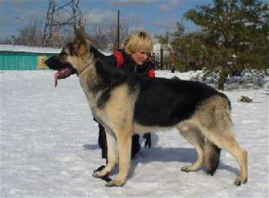 Восточно-европейская овчарка: SANROZ LAERS MISTER MERFI