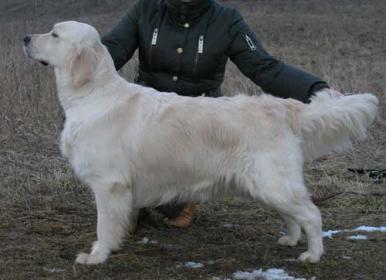 Golden retriever: Lovely Rus Day Simona Cleo