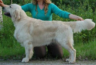 Golden retriever: Primrose's Dream Amazing Lad