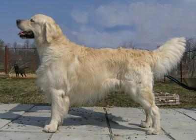 Golden retriever: Floprym I Am Swedish