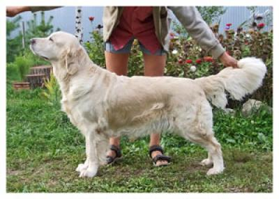 Golden retriever: Skandi Sanraiz Galaxy Elinor