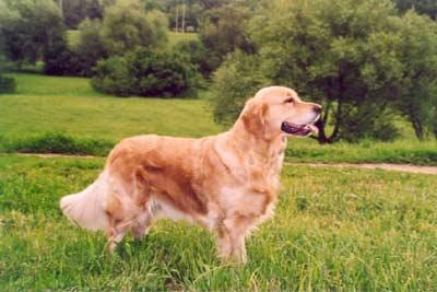 Golden retriever: Skandi Sanraiz Velvety Honey
