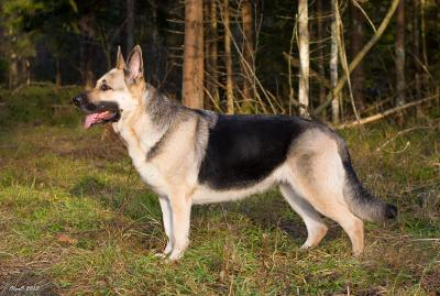 Восточно-европейская овчарка: Госпожа Удача из Ксаро Честная Игра